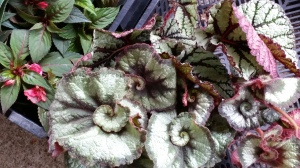 Who could resist a begonia called escargot?
